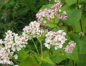 Buckwheat with Honey Bee