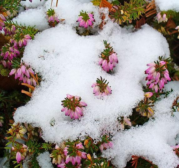 Snow Heather Honey
