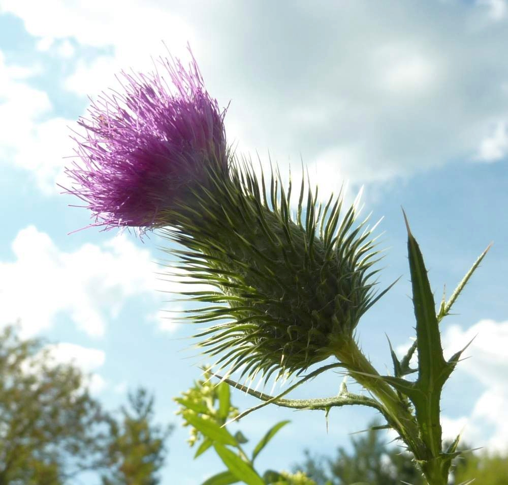 Other Thistle Honeys