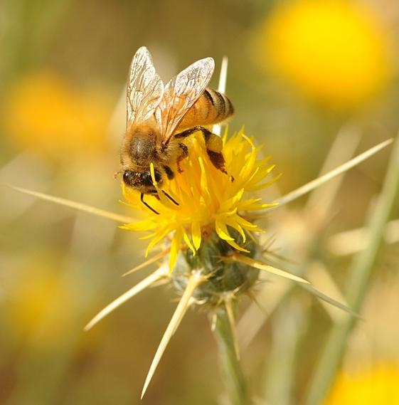 Star Thistle Honey